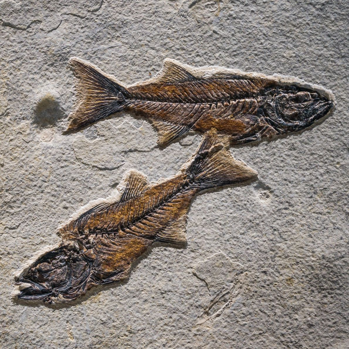 Fish (Mioplosus labracoides) are the most common finds in the Kemmerer, Wyoming, lake.