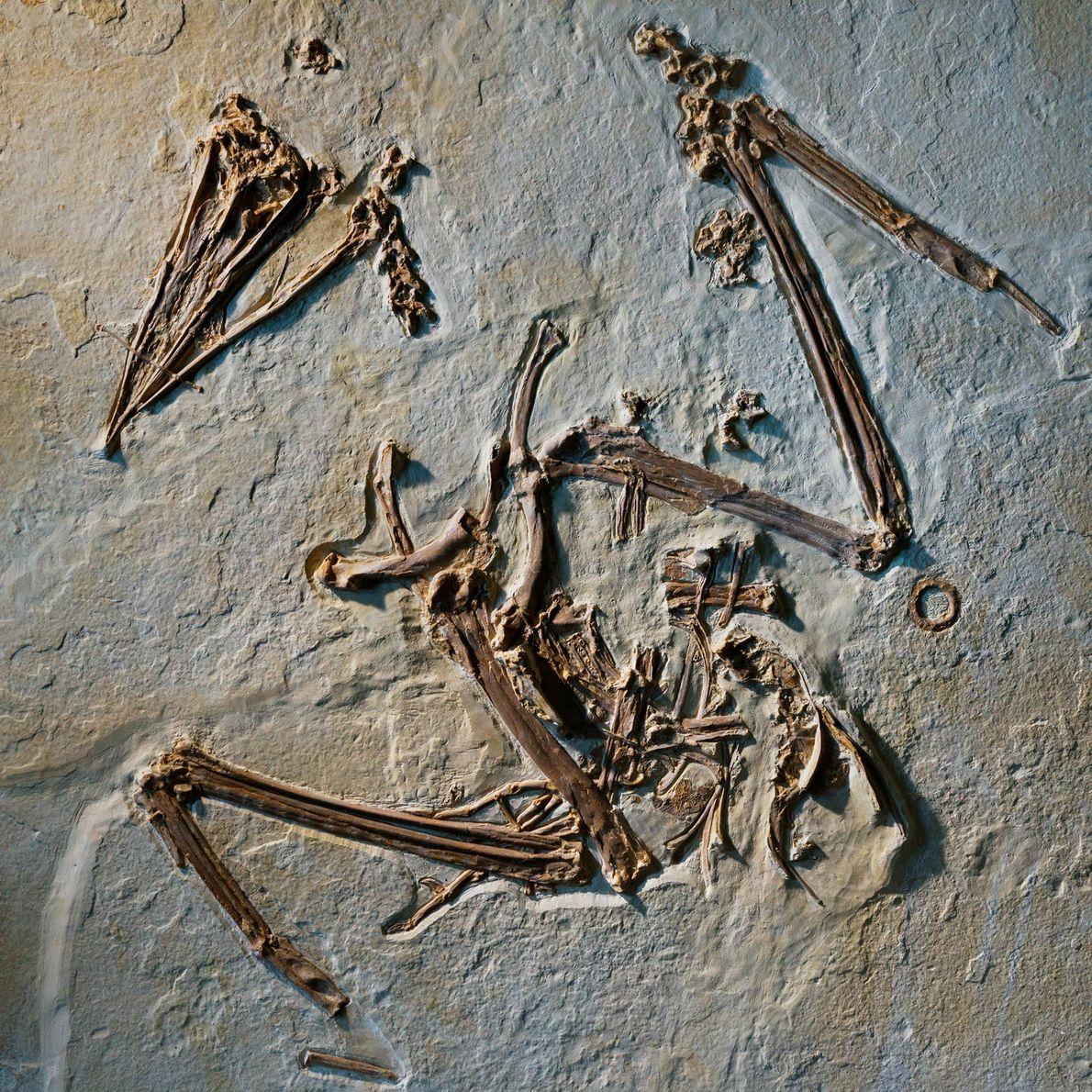 Frigatebird (Limnofregata azygosternon)