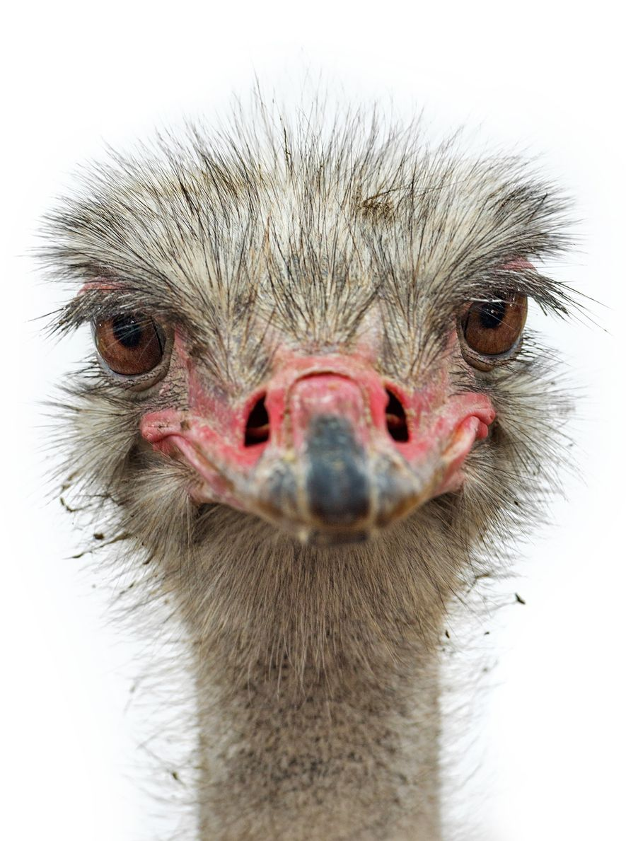 Ostriches descend from a group of birds that arose in the late Cretaceous period and somehow ...