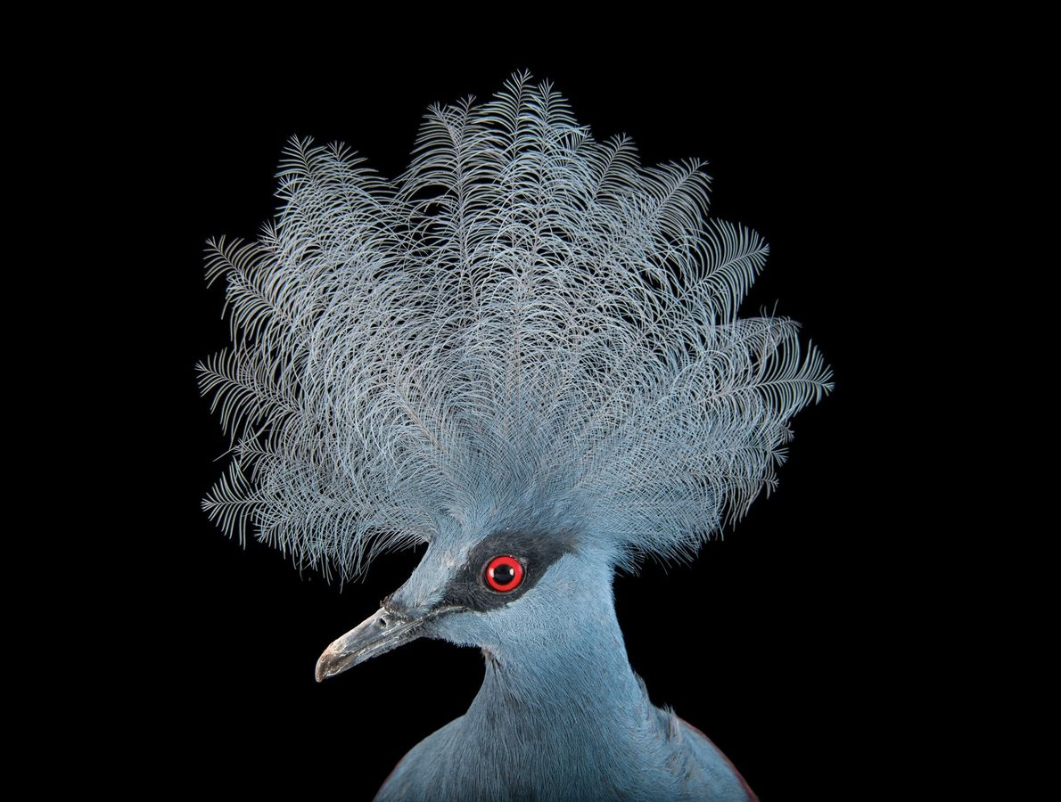Blue crowned pigeon (Goura cristata)