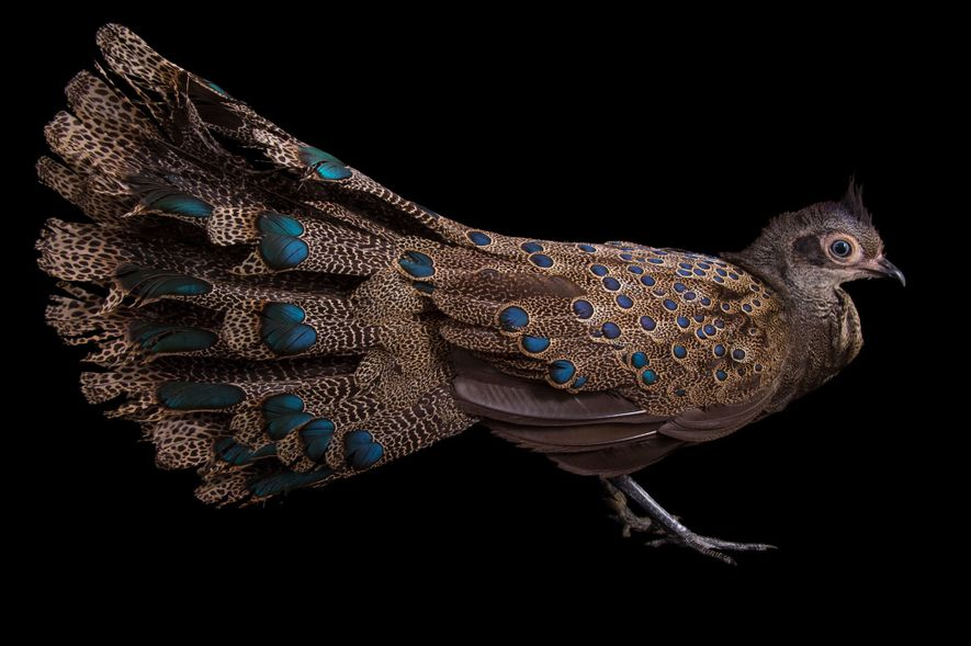 Nearly half of the 20-inch average length of the male Malayan peacock pheasant (Polyplectron malacense) is ...