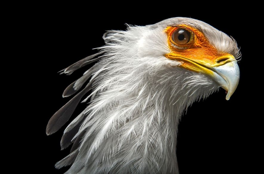 With its outlandishly long legs and fierce demeanor, the secretary bird (Sagittarius serpentarius) of the African ...