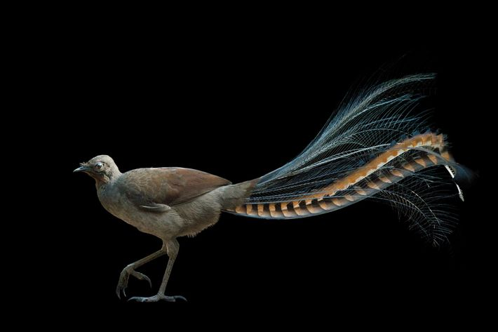 Australia's superb lyrebird (Menura novaehollandiae) is a masterful mimic. To attract a mate, a male riffs ...