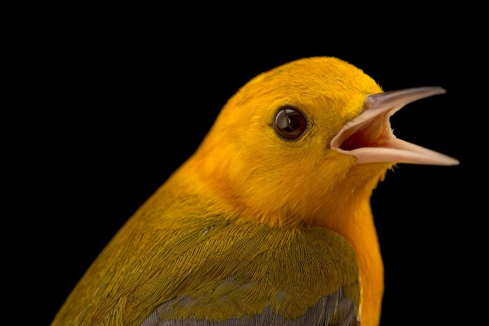 In the swamp forests of the southeastern U.S., the persistent tweet-tweet-tweet-tweet of the prothonotary warbler (Protonotaria ...