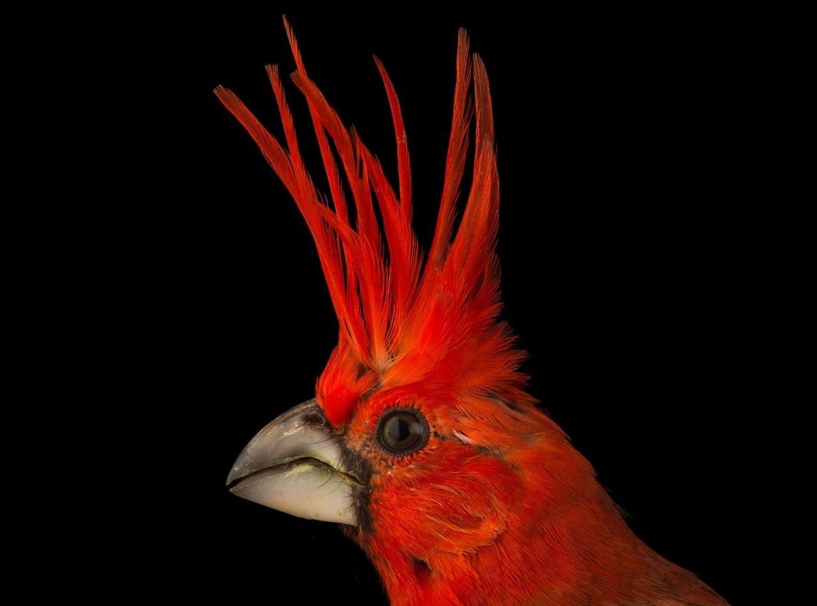 Like its North American cousin, the vermilion cardinal (Cardinalis phoeniceus) of Colombia and Venezuela is an …