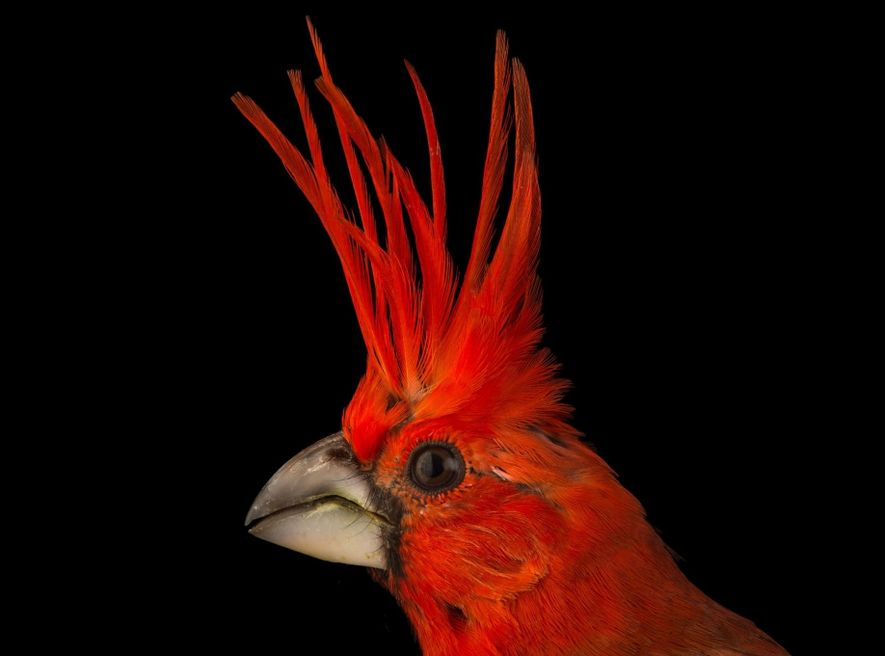 Like its North American cousin, the vermilion cardinal (Cardinalis phoeniceus) of Colombia and Venezuela is an ...
