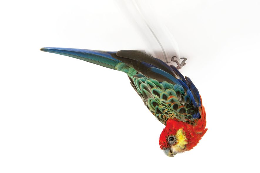 The sociable western rosella (Platycercus icterotis) of southwestern Australia is often seen foraging in pairs or ...