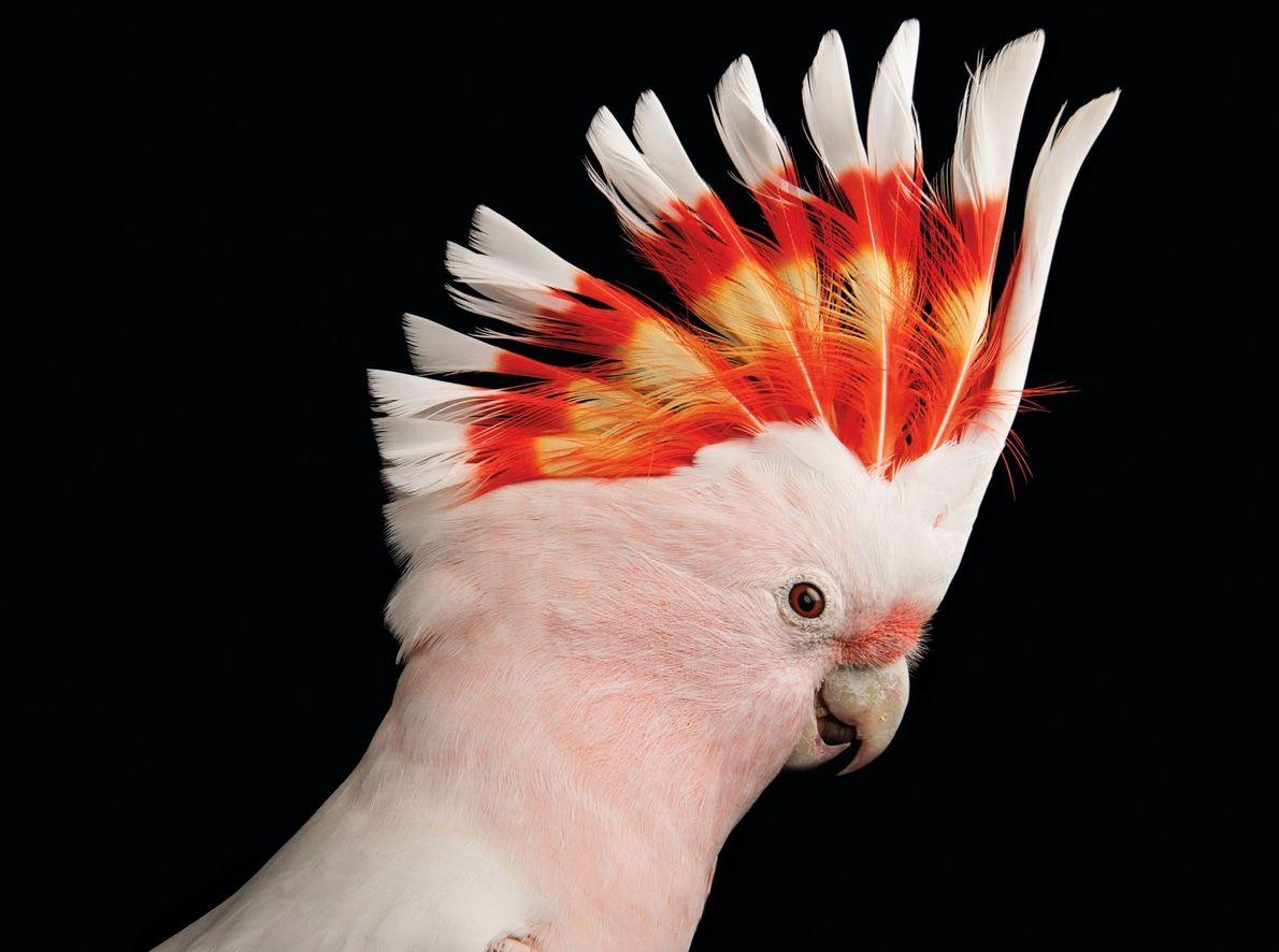 Major Mitchell's cockatoo (Cacatua leadbeateri)