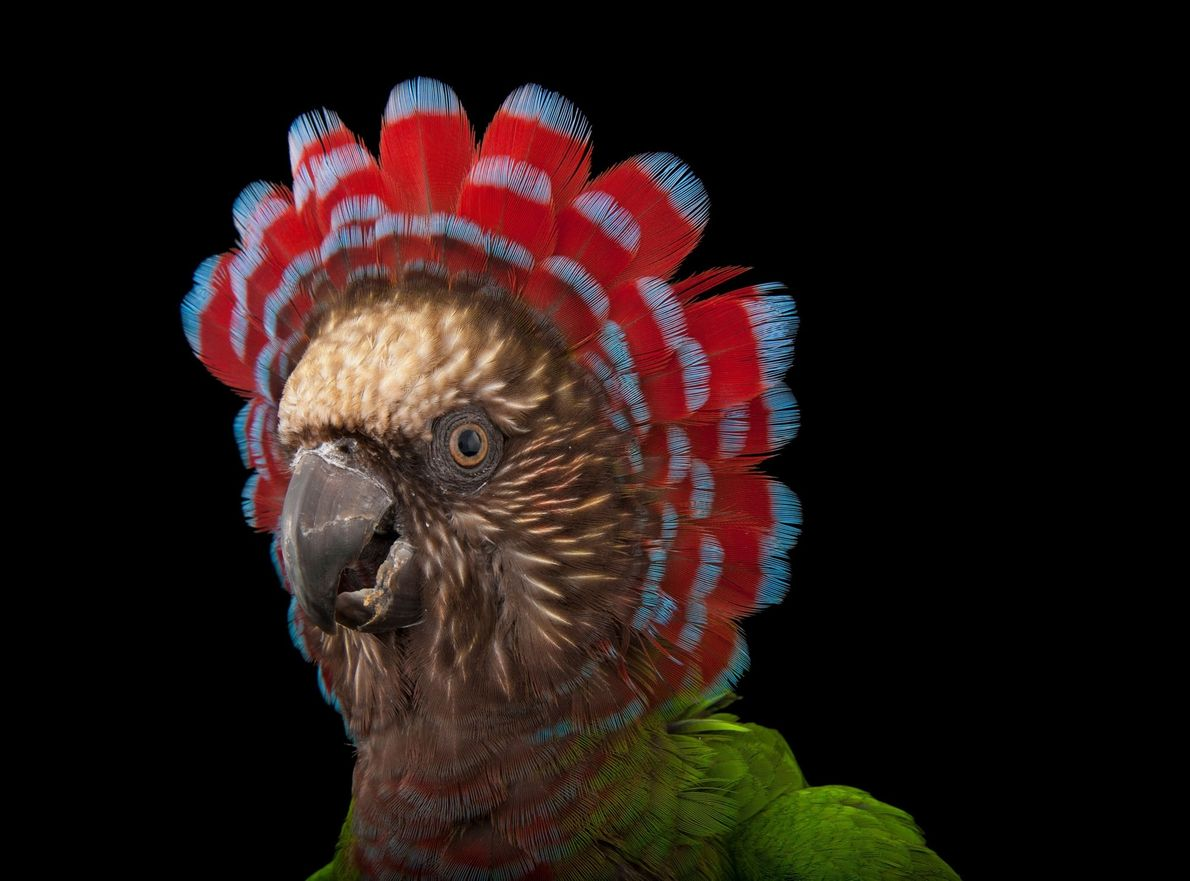 Red-fan parrot (Deroptyus accipitrinus)   Birds were not the first to evolve head ornamentation—both dinosaurs and even more …