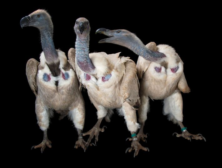 Vultures (Gyps coprotheres) are hardly the most lovable birds—they're big and ugly, and they eat disgusting ...