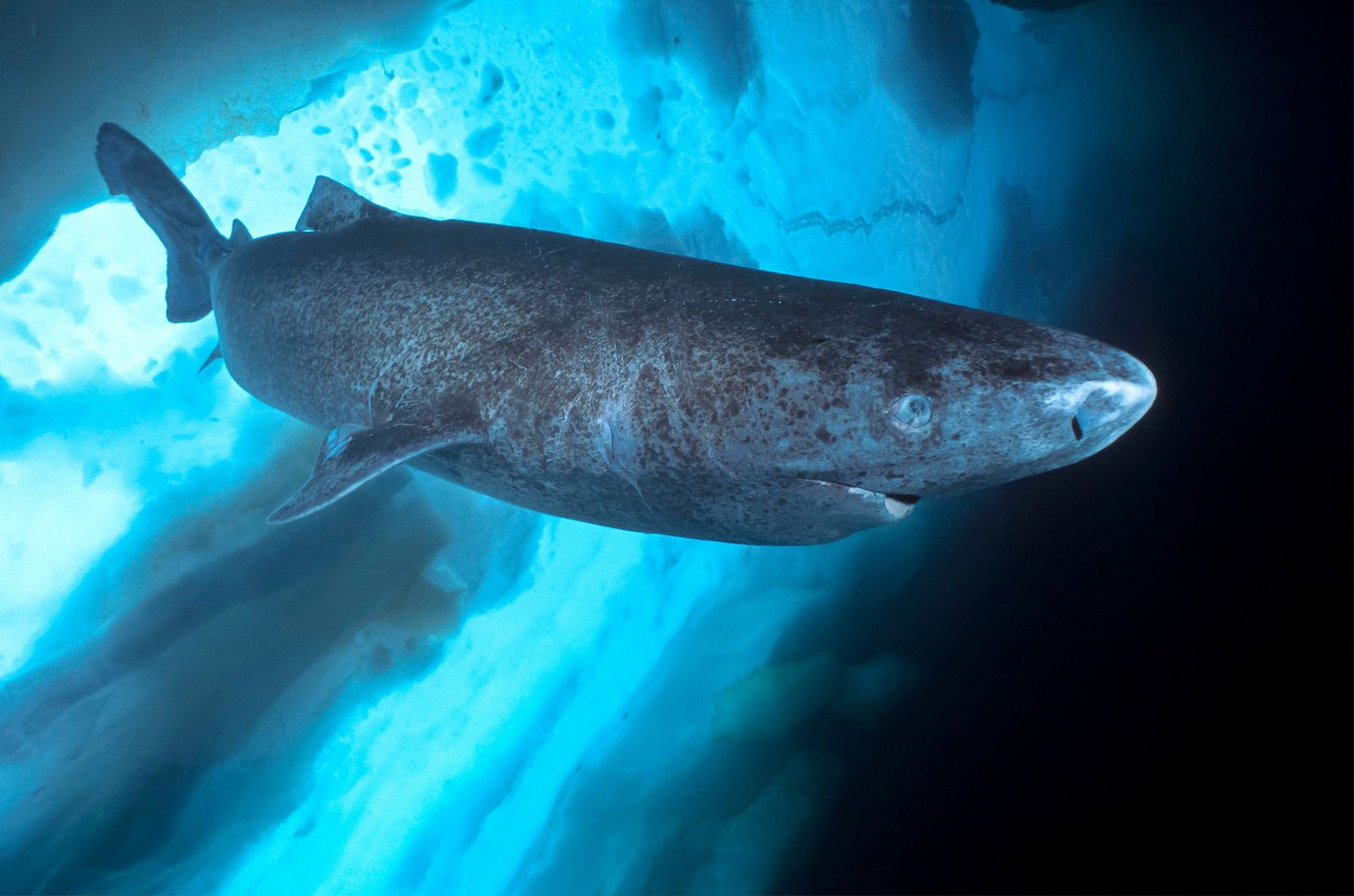 The Greenland shark isn't just found off the coast of Greenland – though it does prefer ...