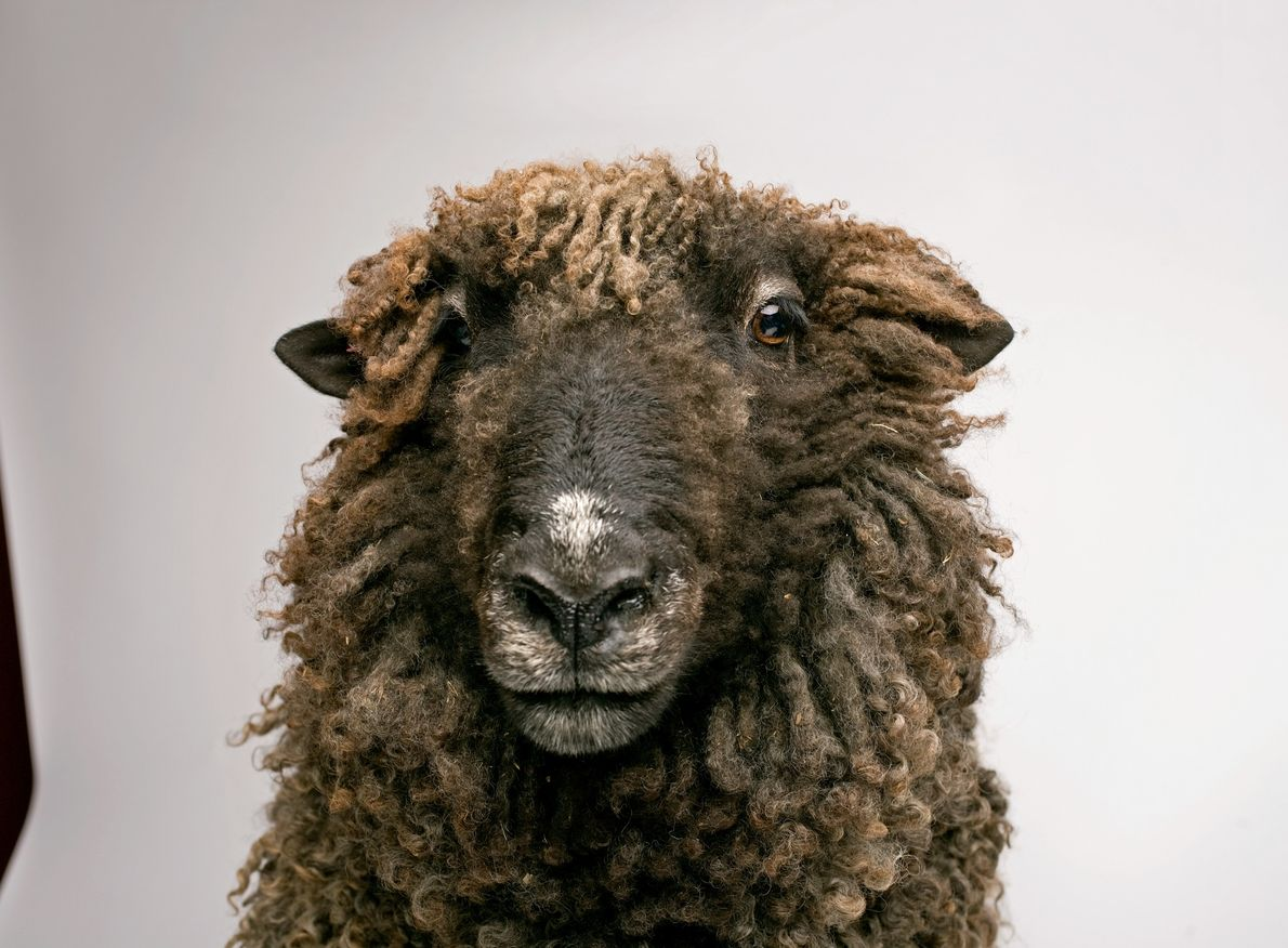 Studies have shown that sheep are adept at recognising each other and remembering sheep faces over ...