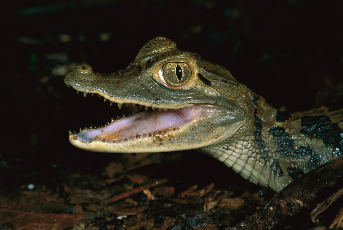 Black caiman, like this juvenile photographed at Peru's Tambopata-Candamo Nature Reserve, were severely overhunted in the ...