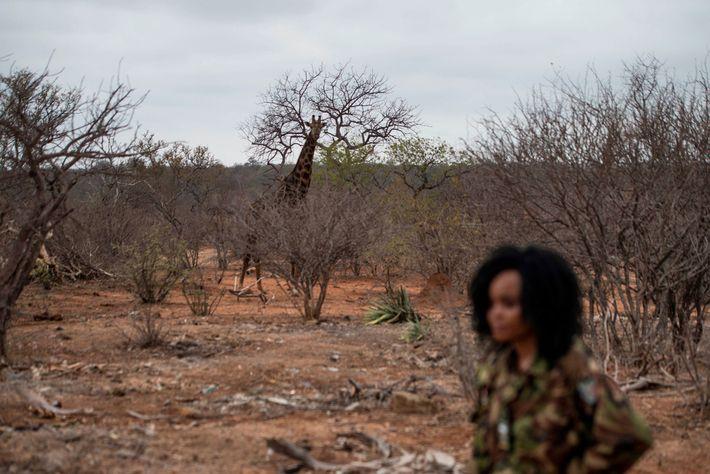 A giraffe roams through the wildlife reserve behind a Black Mambas member. The team routinely patrols ...