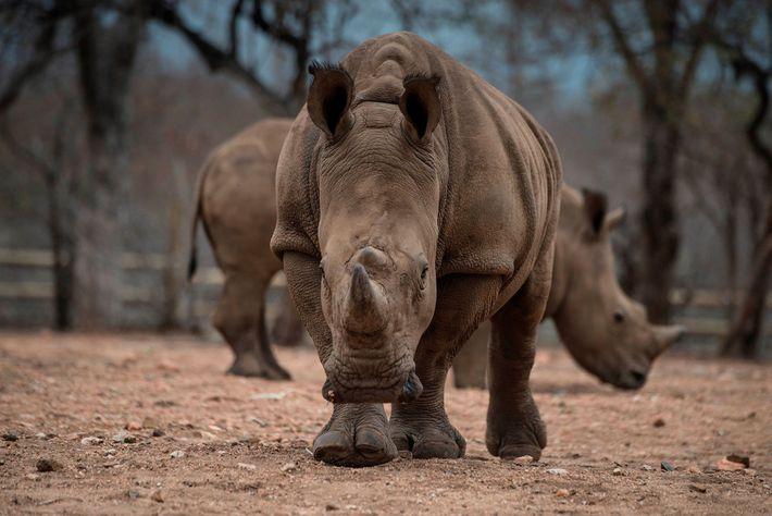 Protected rhinos roam through an enclosed space on the Khaya Ndlovu Lodge near Kruger National Park.