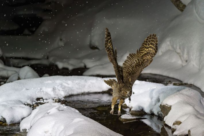 A Blakiston's fish owl from the Bubo blakistoni blakistoni subspecies flies near Rausu, Japan.