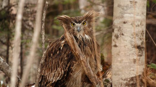 A female Blakiston's fish owl, alert and with ear tufts erect, prepares to fly in March ...