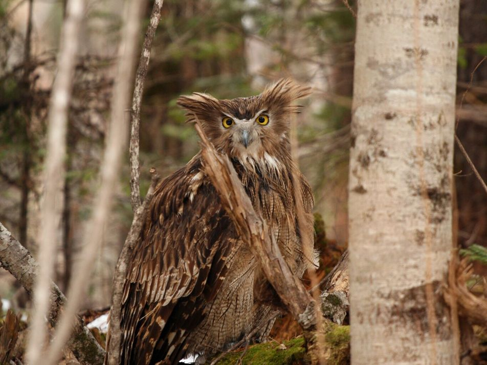 The world's biggest owl is endangered—but it's not too late to save it
