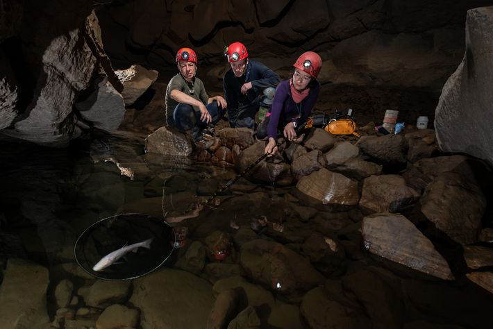 British caver Nicky Bayley catches the blind cave fish inside a net in Ladaw Cave, as ...