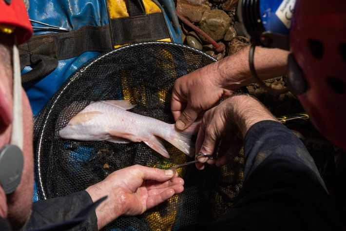Researchers clipped a small piece from one of the fish's fins for DNA analysis before returning ...