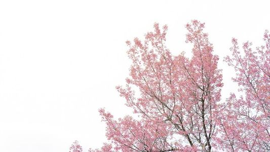 Beyond Japan: where to see cherry blossoms around the world?