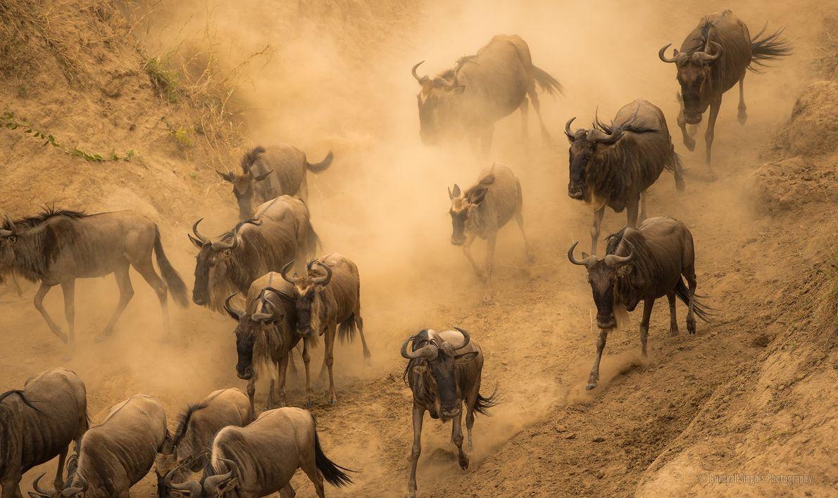 Blue wildebeest migrate across the Mara River.