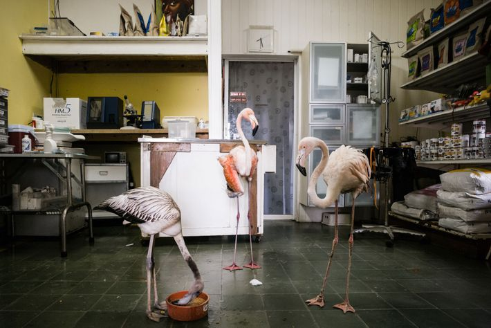 Bob (right) hangs out with two rescued flamingos in Odette's treatment room. The young bird is ...