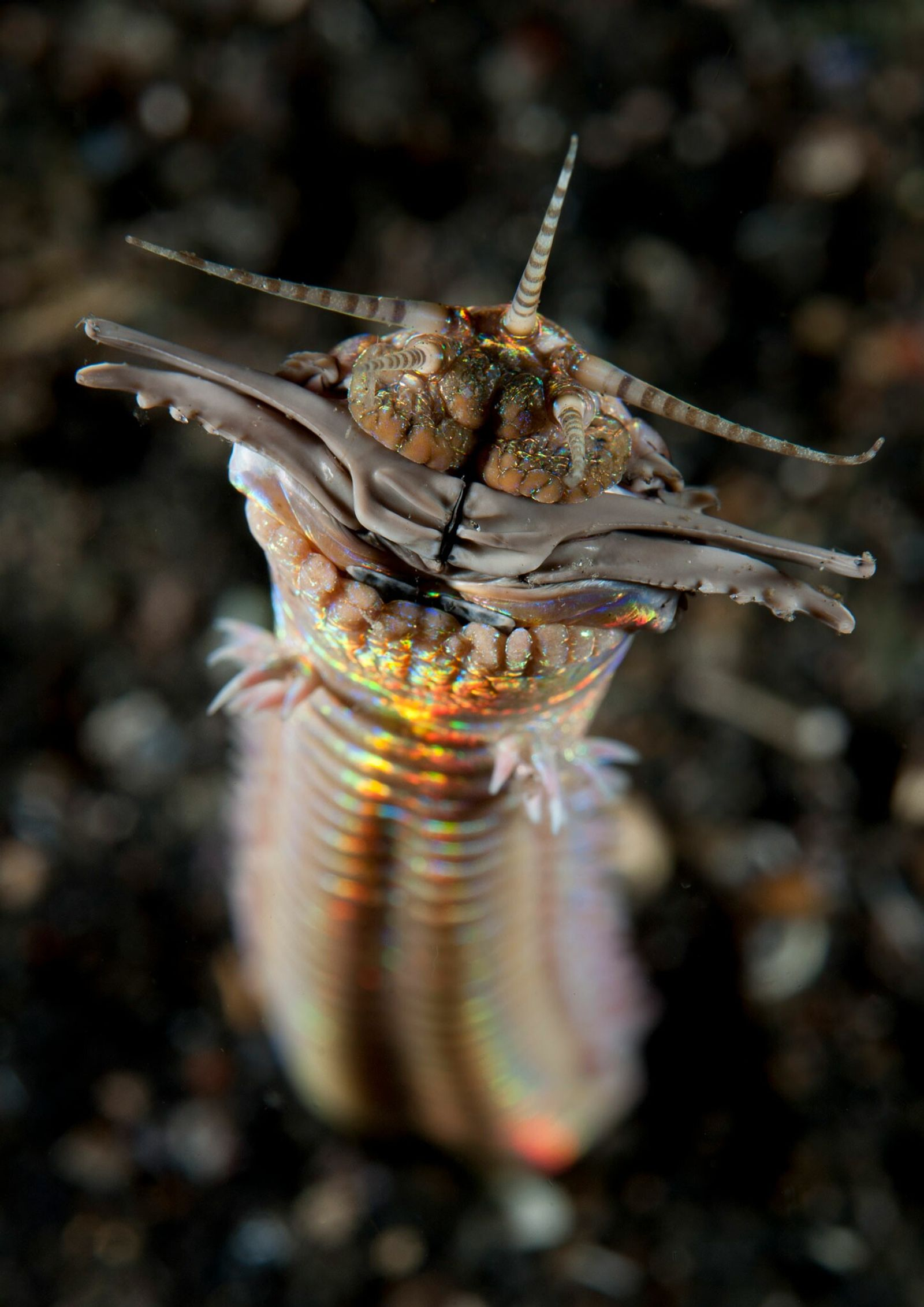 Predatory sand striker worms can grow up to 10 feet in length. This one was photographed ...