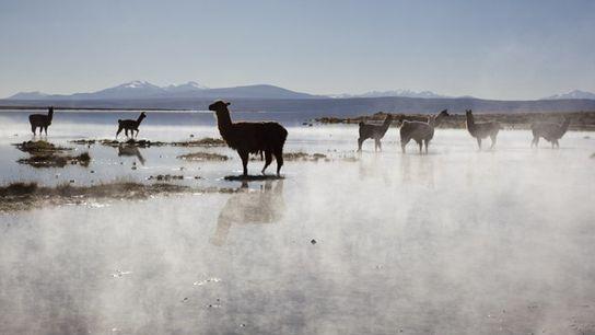 Llamas, Salar de Uyuni.