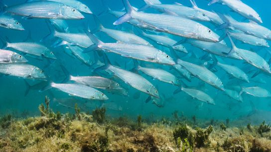 Bonefish (Albula vulpes) foragie for crustaceans in shallow waters of the Bahamas. These animals perform unprecedented ...
