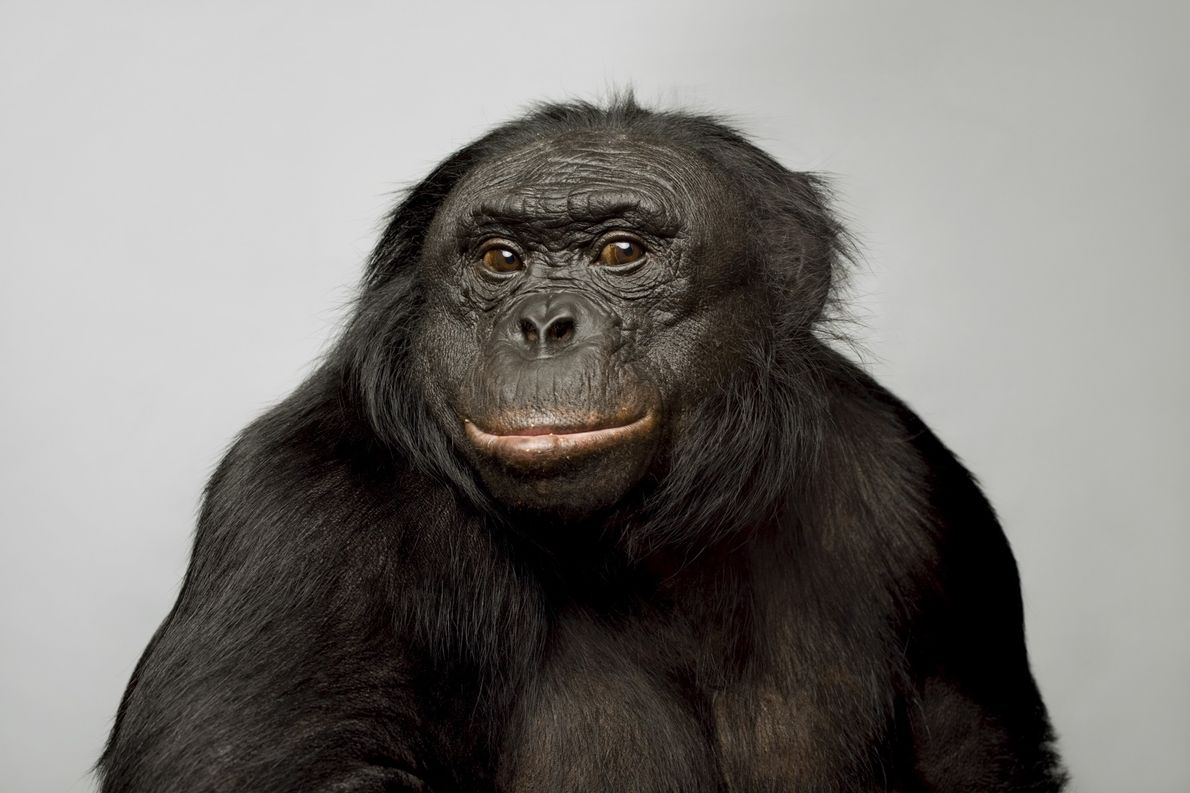 Kanzi, a 39-year-old bonobo, became well-known for his language skills. He can communicate using hundreds of ...
