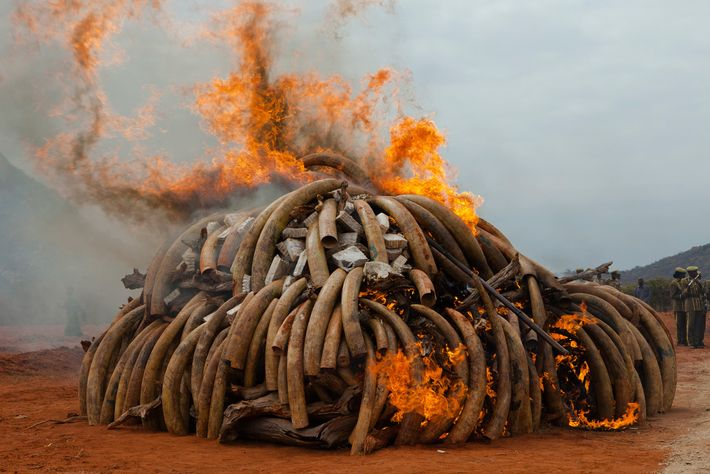 More than five tons of smuggled ivory burn in Kenya. The demand for ivory exceeds the ...