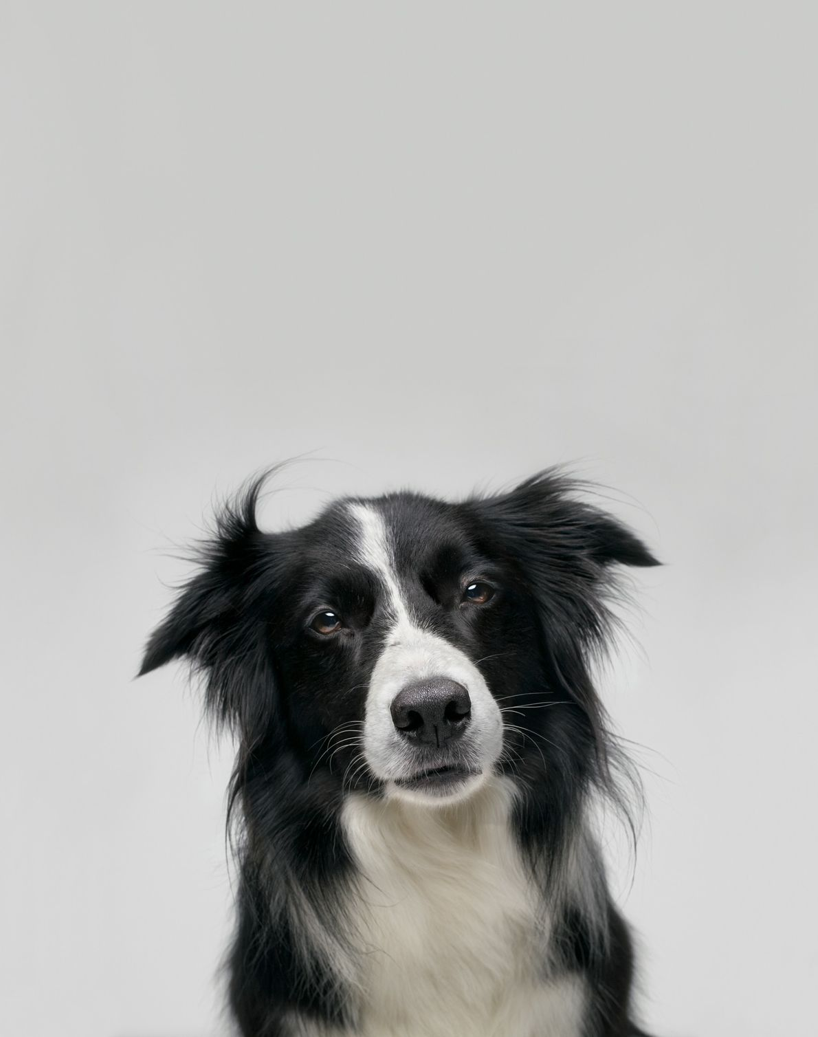 Studies have highlighted the memory skills of border collies. Until his death in July 2019, one ...