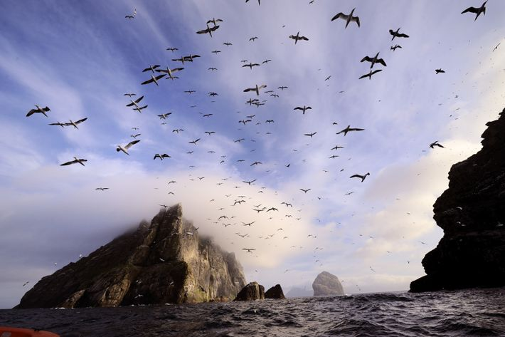 Gannets fly out in a brief moment of sunshine, Boreray. Four miles from St Kilda, this ...