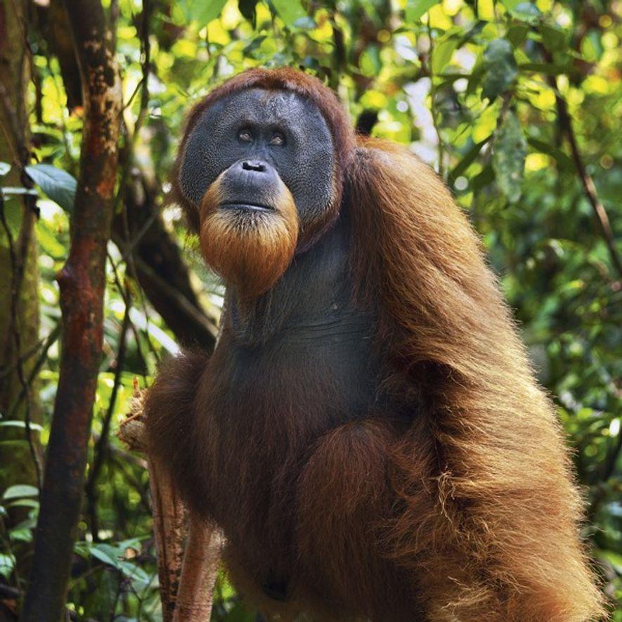 Juvenile Orangutan, Borneo.