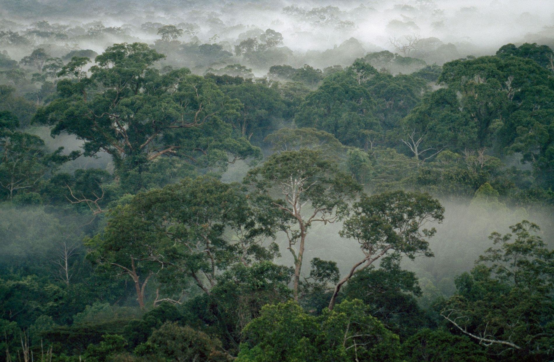 Mist-shrouded rain forest trees in Gunung Palung National Park, Borneo Island, Indonesia.