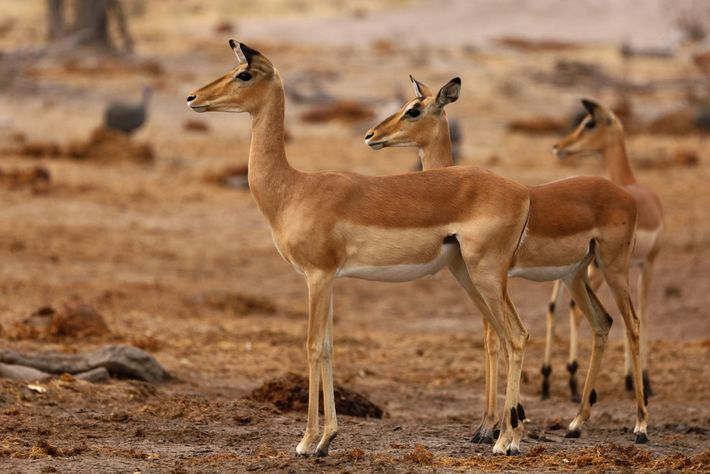 A herd of impalas in Khwai Private Reserve, Botswana