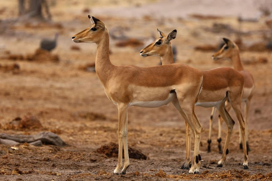 A herd of impalas in Khwai Private Reserve.