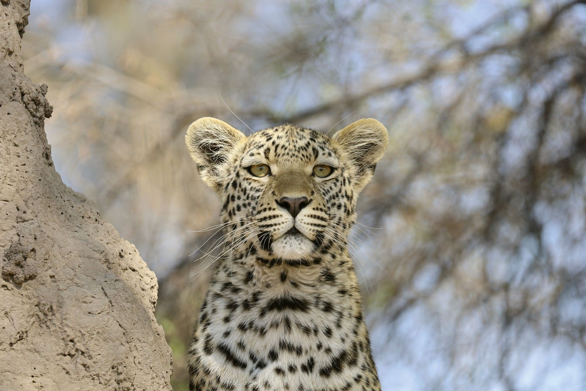 Young leopard on a termite mound in Khwai Private Reserve.