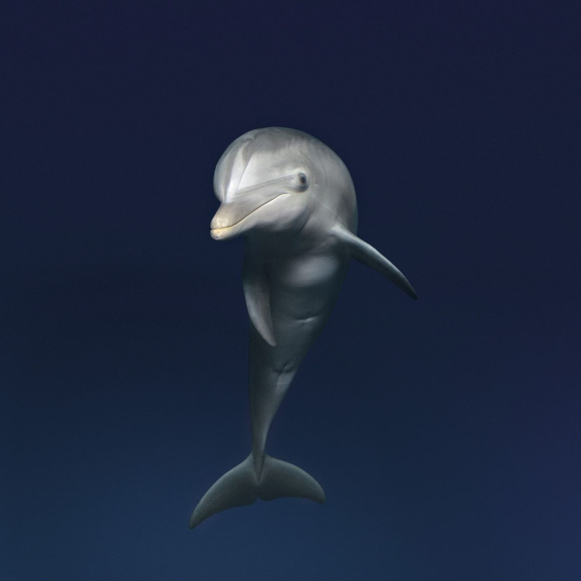 Bottlenose dolphins are widely regarded as highly intelligent. Play is an important part of the social ...