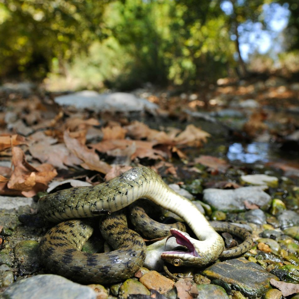 Many animals play dead—and not just to avoid getting eaten