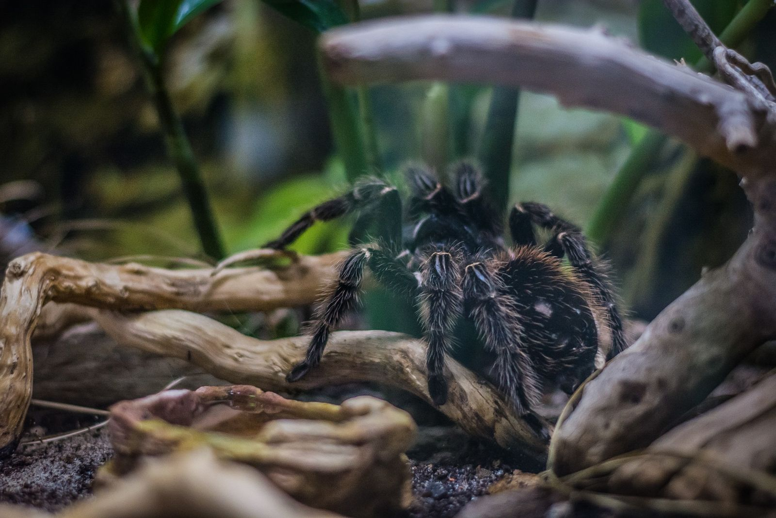 Finding a forever home for trafficked tarantulas