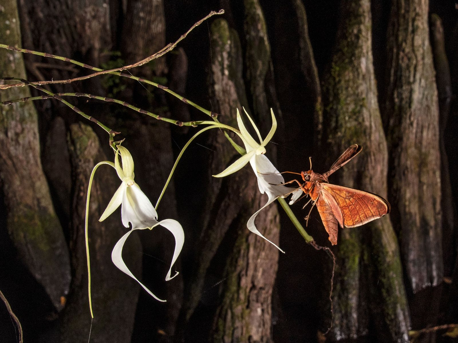 Moths pollinating rare ghost orchids.