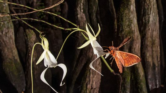 Discovery reveals secrets about how ghost orchids reproduce