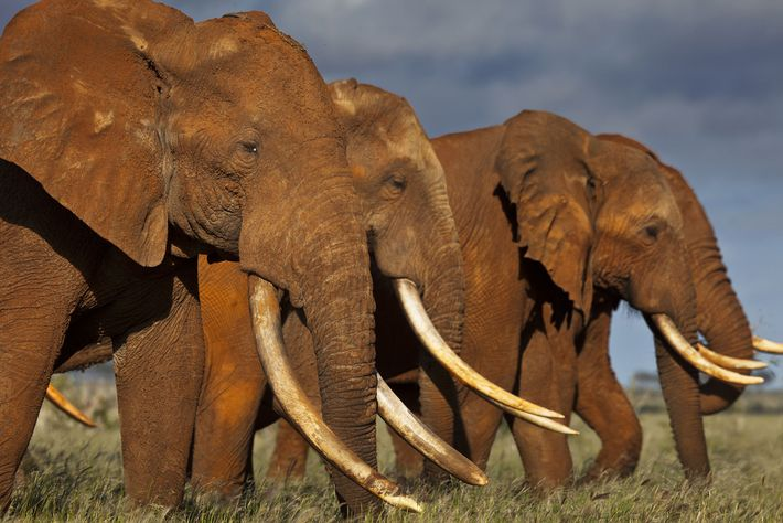 These giants in Kenya's Tsavo East National Park represent some of Africa's last great tuskers—elephants whose ...