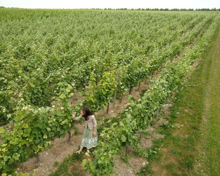 Kirsty Goring walks through a vineyard of Pinot Meunier 'cépage' at Wiston Estate.