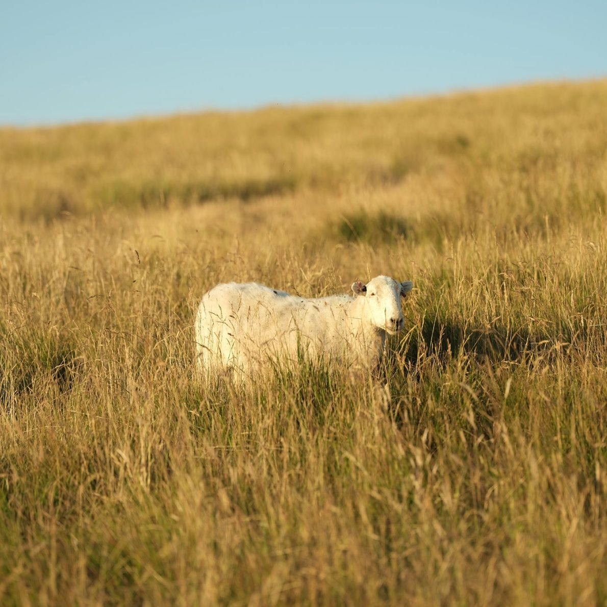 A sheep grazes in southern England wine country.