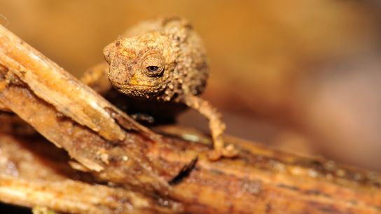 A female Brookesia nana chameleon in Madagascar. The species is likely the smallest reptile on earth. ...