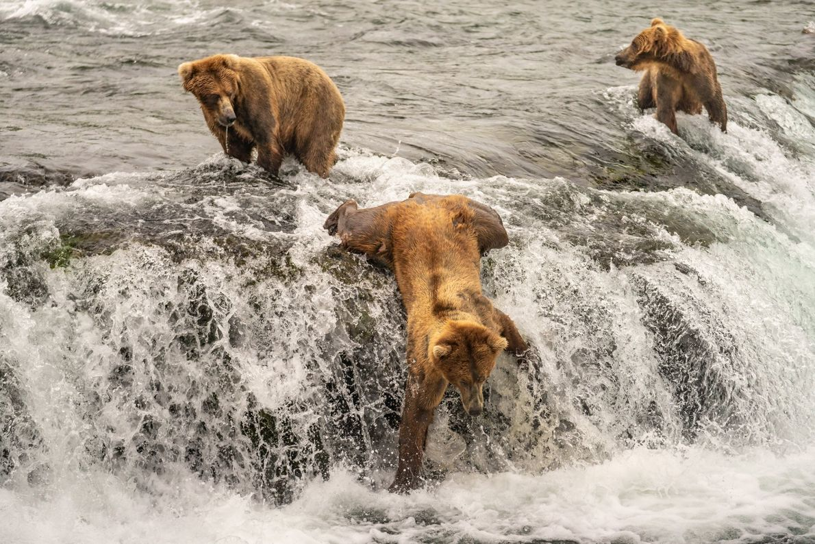 Pictured is a brown bear in the midst of a short tumble as he was fishing ...