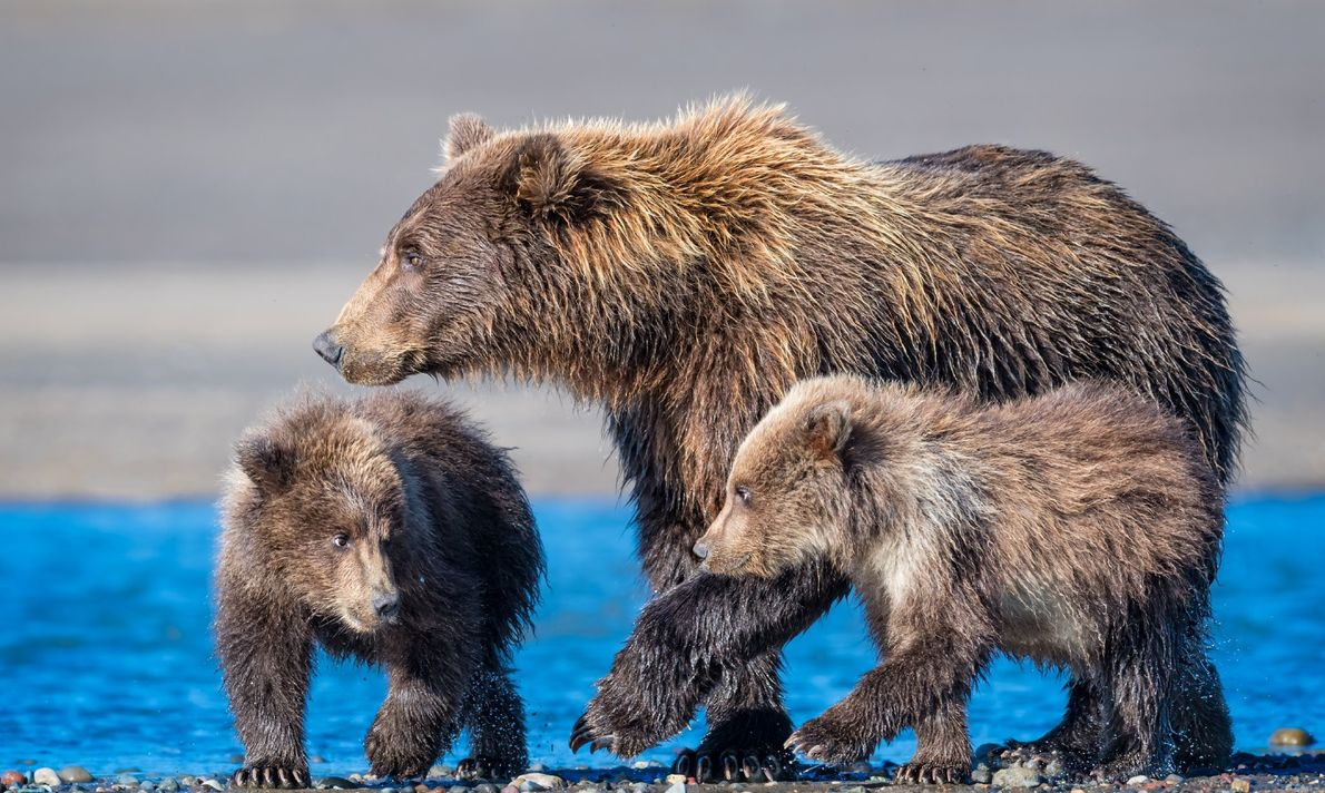 Coastal brown bear family. New mother with her first litter of cubs. They are about seven ...